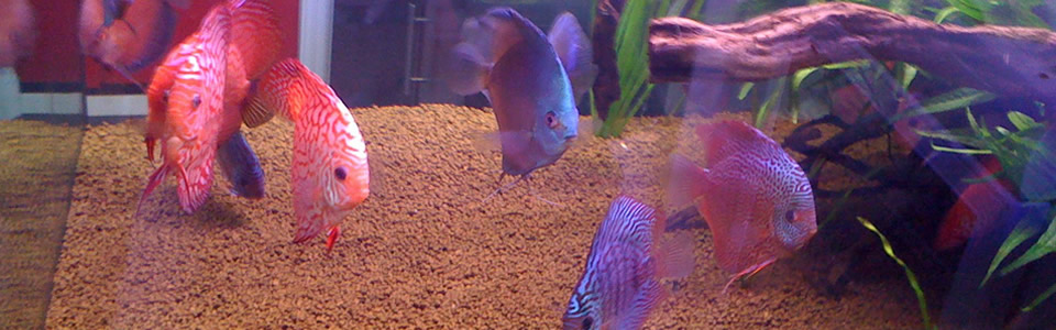 Pesci d'acqua dolce e pesci tropicali varese